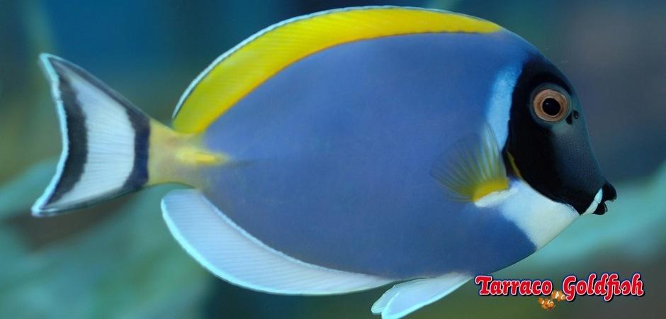 http://www.tarracogoldfish.com/wp-content/uploads/2011/02/Acanthurus-leucosternon-3.jpg