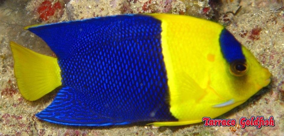 A Bicolor Angelfish (Centropyge bicolor). Cannon Reef, Beqa Lagoon, Fiji