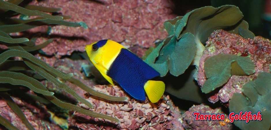 http://www.tarracogoldfish.com/wp-content/uploads/2011/02/Centropyge-bicolor-2.jpg
