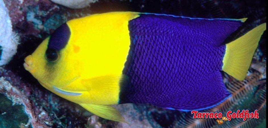 http://www.tarracogoldfish.com/wp-content/uploads/2011/02/Centropyge-bicolor.jpg