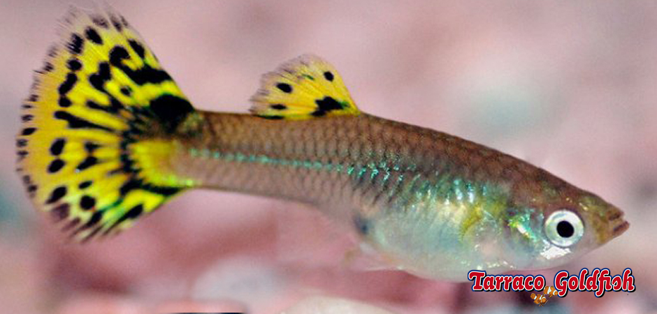 Guppy femella Tarraco Goldfish