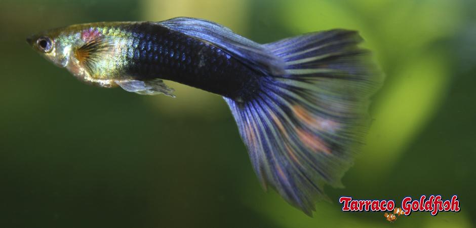 http://www.tarracogoldfish.com/wp-content/uploads/2011/02/Guppy-macho-Tarraco-Goldfish.jpg