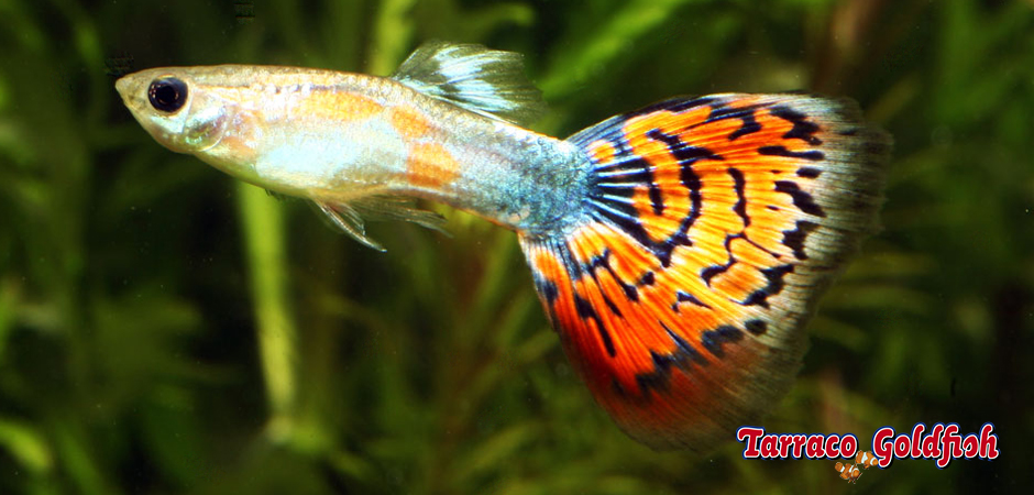 http://www.tarracogoldfish.com/wp-content/uploads/2011/02/Guppy-mascle-Tarraco-goldfish.jpg
