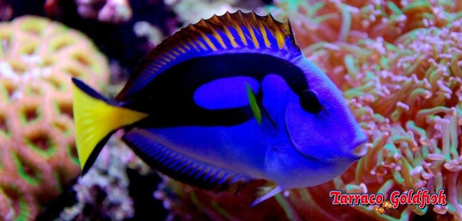 http://www.tarracogoldfish.com/wp-content/uploads/2011/02/Paracanthurus-hepatus-6.jpg