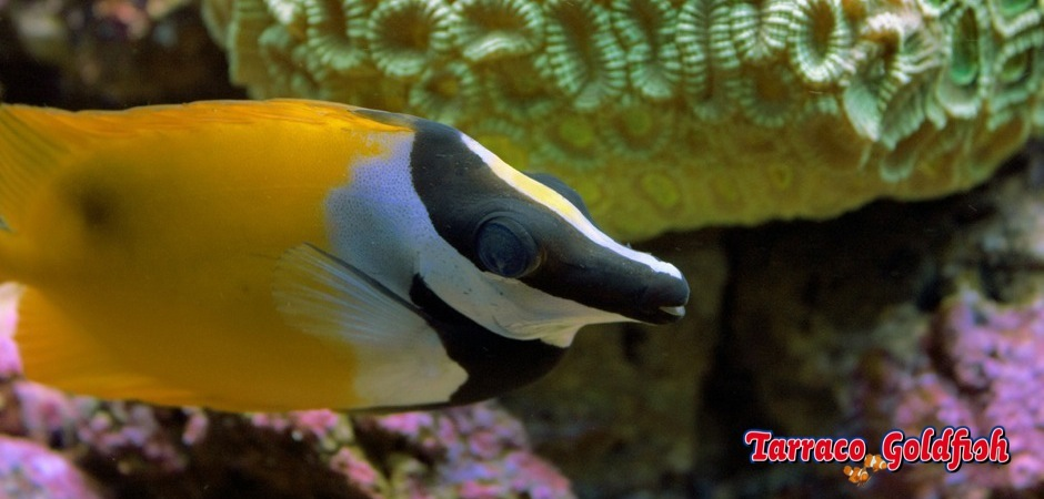 http://www.tarracogoldfish.com/wp-content/uploads/2011/02/Siganus-Vulpinus-1.jpg