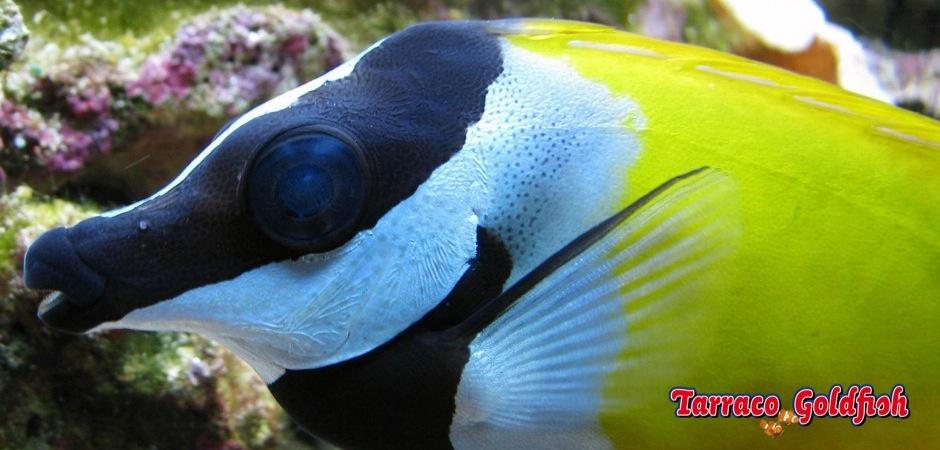 http://www.tarracogoldfish.com/wp-content/uploads/2011/02/Siganus-Vulpinus-2.jpg