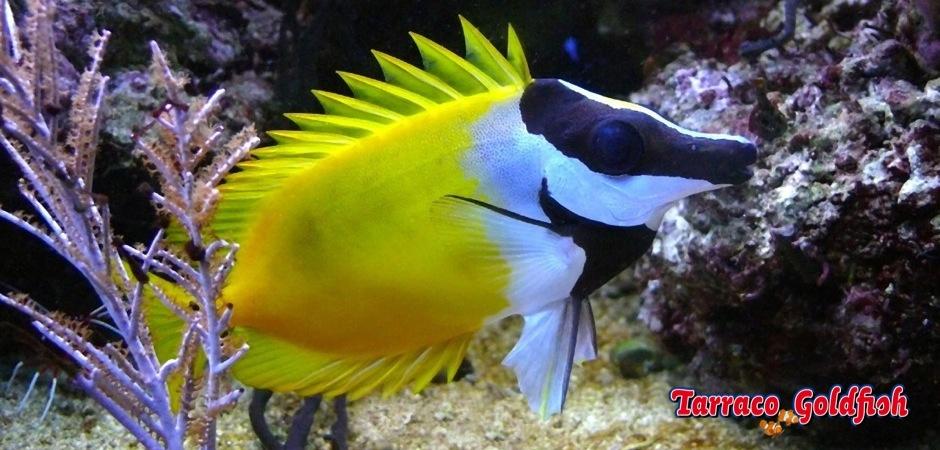 http://www.tarracogoldfish.com/wp-content/uploads/2011/02/Siganus-Vulpinus-3.jpg
