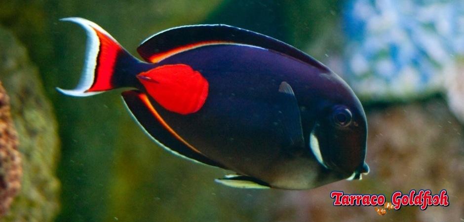 http://www.tarracogoldfish.com/wp-content/uploads/2011/03/Acanthurus-Achilles-1.jpg