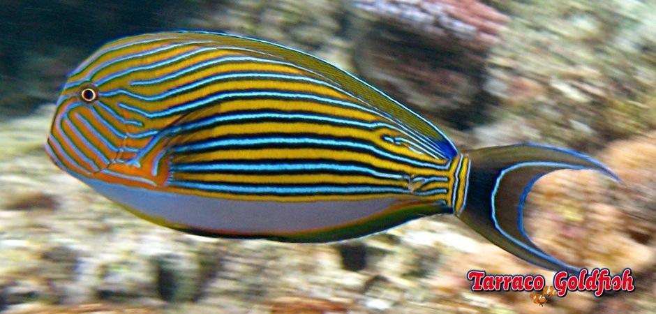 http://www.tarracogoldfish.com/wp-content/uploads/2011/03/Acanthurus-Lineatus-1jpg.jpg