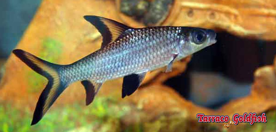 http://www.tarracogoldfish.com/wp-content/uploads/2011/03/Balantiocheilus-melanopterus-1-TarracoGoldfish.jpg