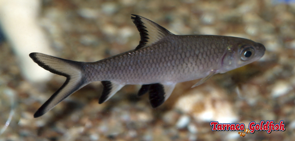 http://www.tarracogoldfish.com/wp-content/uploads/2011/03/Balantiocheilus-melanopterus-2-TarracoGoldfish.jpg