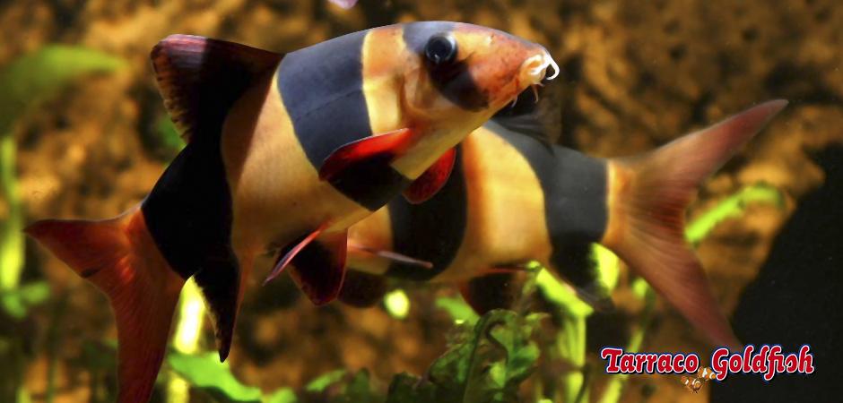 http://www.tarracogoldfish.com/wp-content/uploads/2011/03/Botia-macracantha-2-TarracoGoldfish.jpg