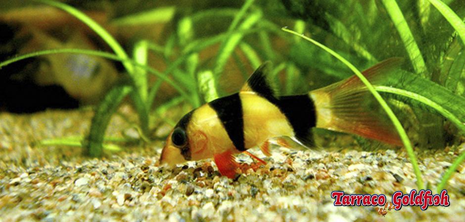 http://www.tarracogoldfish.com/wp-content/uploads/2011/03/Botia-macracantha-TarracoGoldfish.jpg