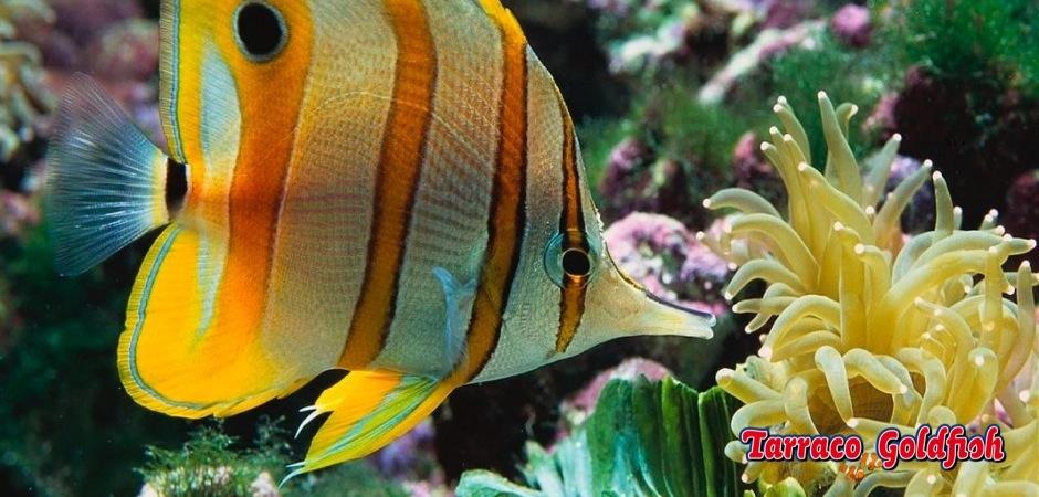 http://www.tarracogoldfish.com/wp-content/uploads/2011/03/Chelmon-Rostratus-1.jpg