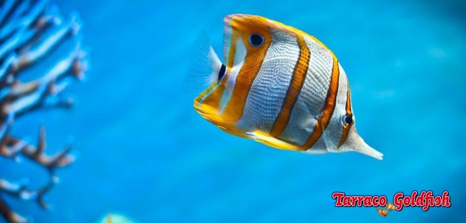 http://www.tarracogoldfish.com/wp-content/uploads/2011/03/Chelmon-Rostratus.jpg