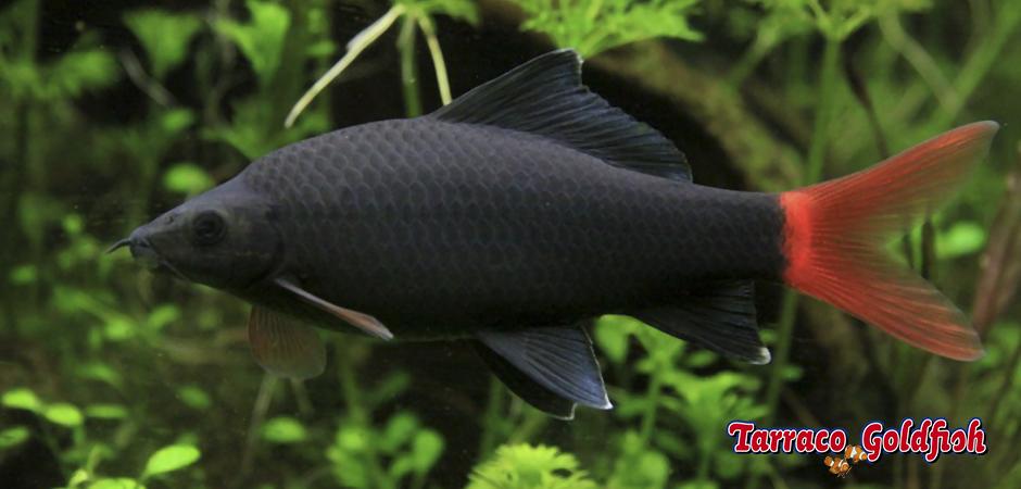 http://www.tarracogoldfish.com/wp-content/uploads/2011/03/Epalzeorhynchus-bicolor-2-TarracoGoldfish.jpg
