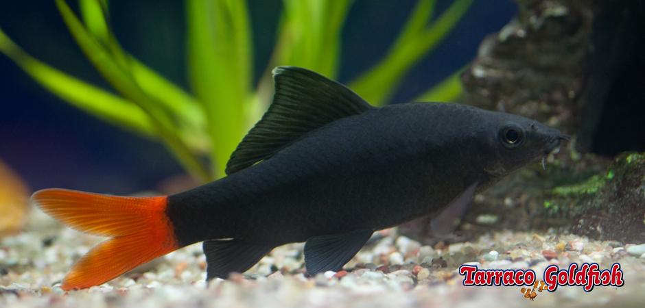 http://www.tarracogoldfish.com/wp-content/uploads/2011/03/Epalzeorhynchus-bicolor-3-TarracoGoldfish.jpg