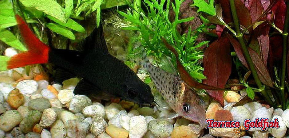 http://www.tarracogoldfish.com/wp-content/uploads/2011/03/Epalzeorhynchus-bicolor-TarracoGoldfish.jpg