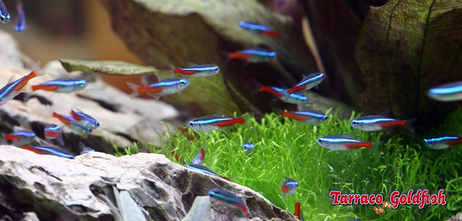 http://www.tarracogoldfish.com/wp-content/uploads/2011/03/Grup-Innesi-TarracoGoldfish.jpg