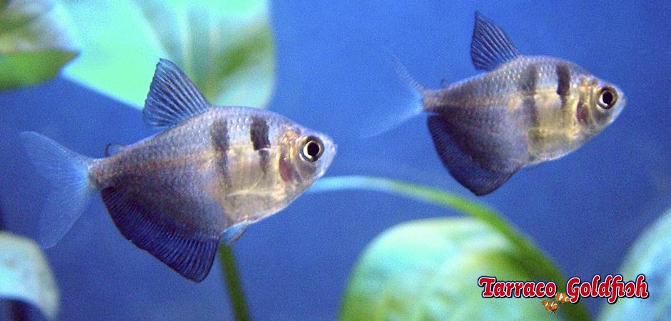 http://www.tarracogoldfish.com/wp-content/uploads/2011/03/Gymnocorymbus-ternetzi-2-TarracoGoldfish.jpg