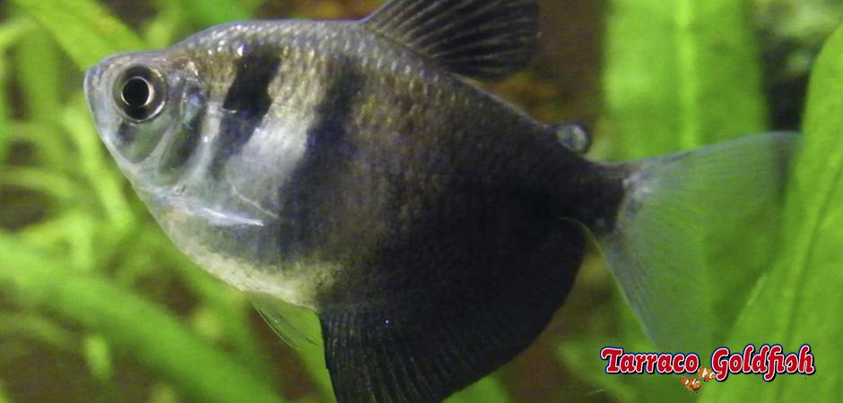 http://www.tarracogoldfish.com/wp-content/uploads/2011/03/Gymnocorymbus-ternetzi-TarracoGoldfish.jpg