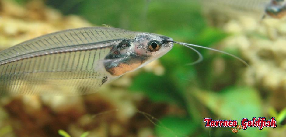 http://www.tarracogoldfish.com/wp-content/uploads/2011/03/Kryptopterus-bicirrhis-Tarraco-Goldfish.jpg