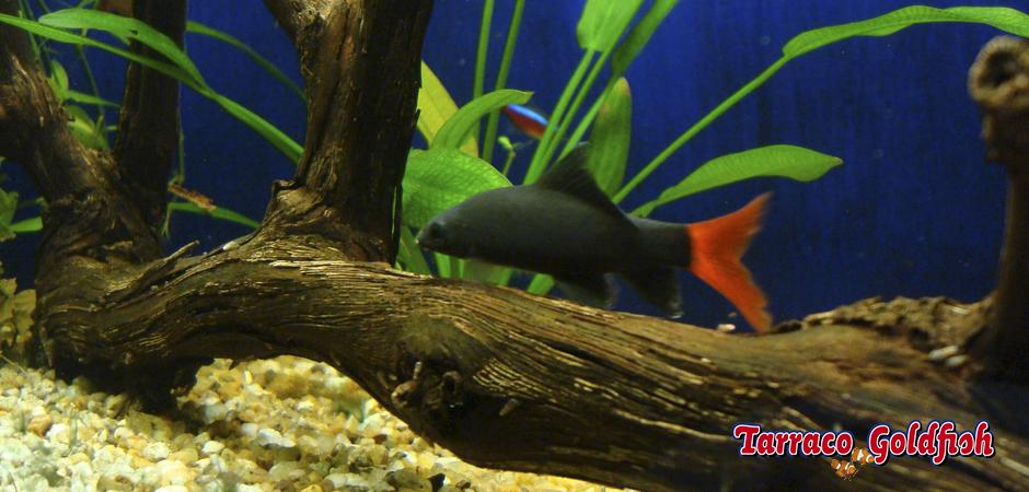 http://www.tarracogoldfish.com/wp-content/uploads/2011/03/Labeo-bicolor-3-TarracoGoldfish.jpg