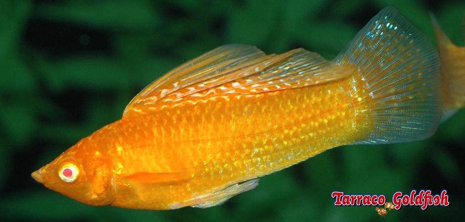 http://www.tarracogoldfish.com/wp-content/uploads/2011/03/Molly-2-TarracoGoldfish.jpg