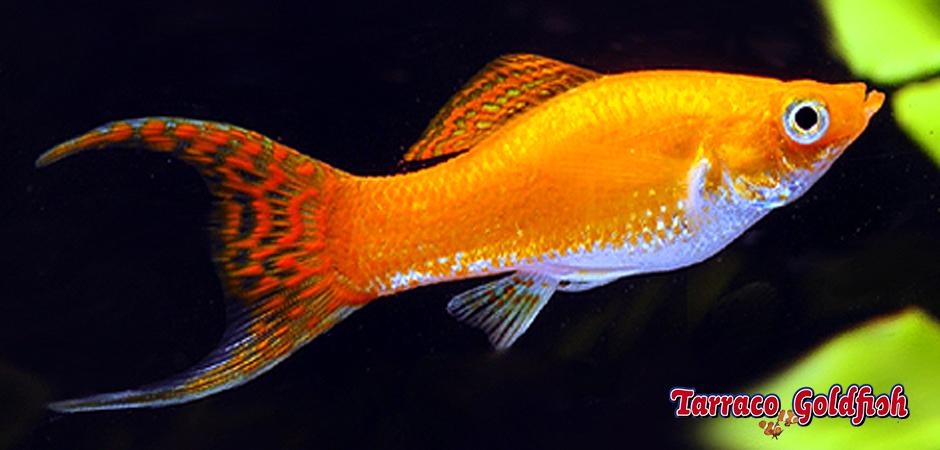 http://www.tarracogoldfish.com/wp-content/uploads/2011/03/Molly-Tarraco-Goldfish.jpg