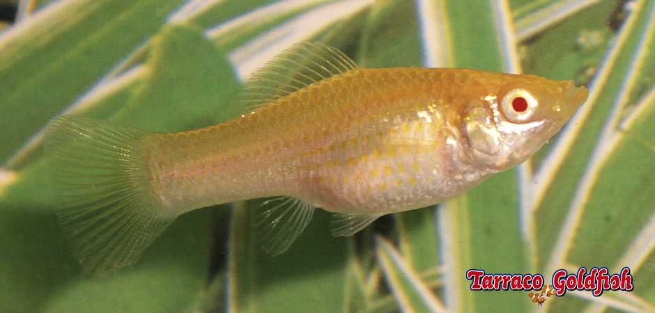 http://www.tarracogoldfish.com/wp-content/uploads/2011/03/Molly-femella-TarracoGoldfish.jpg