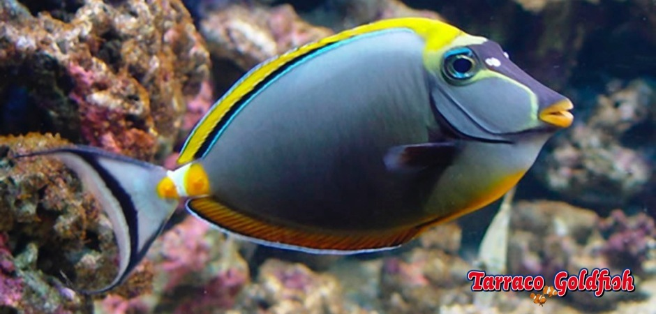 http://www.tarracogoldfish.com/wp-content/uploads/2011/03/Naso-Lituratus.jpg