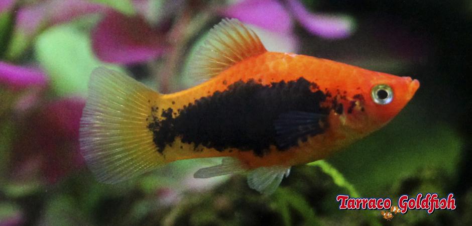 http://www.tarracogoldfish.com/wp-content/uploads/2011/03/Platy-tuxedoTarracoGoldfish.jpg