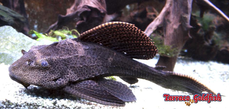 http://www.tarracogoldfish.com/wp-content/uploads/2011/03/Plecostomus-1-TarracoGoldfish.jpg