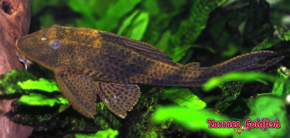 http://www.tarracogoldfish.com/wp-content/uploads/2011/03/Plecostomus-3-TarracoGoldfish.jpg