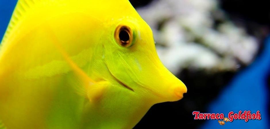 http://www.tarracogoldfish.com/wp-content/uploads/2011/03/Zebrasoma-Flavescens-0.jpg