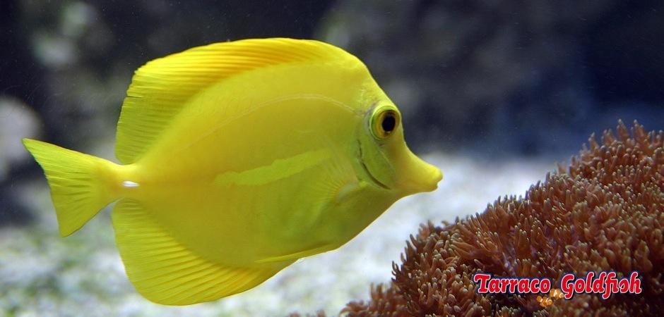 http://www.tarracogoldfish.com/wp-content/uploads/2011/03/Zebrasoma_Flavescens.jpg