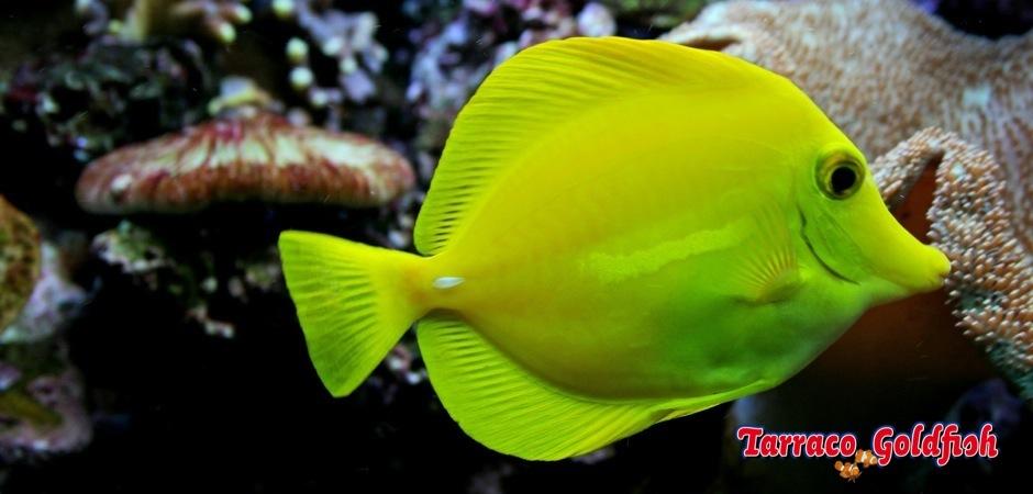 http://www.tarracogoldfish.com/wp-content/uploads/2011/03/Zebrasoma_flavescens_1.jpg