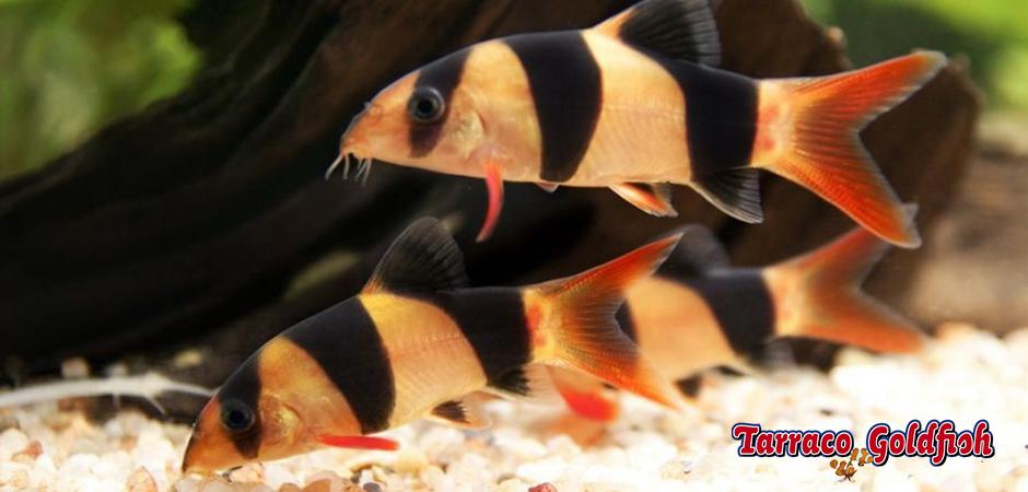 http://www.tarracogoldfish.com/wp-content/uploads/2011/03/botia-payaso-4-TarracoGoldfish.jpg
