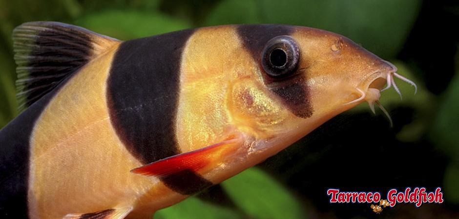 http://www.tarracogoldfish.com/wp-content/uploads/2011/03/botia-payaso-5-TarracoGoldfish.jpg