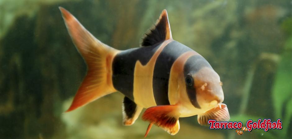 http://www.tarracogoldfish.com/wp-content/uploads/2011/03/botia-payaso-TarracoGoldfish.jpg