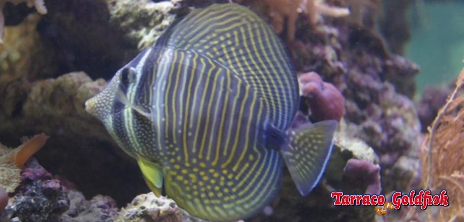 http://www.tarracogoldfish.com/wp-content/uploads/2011/03/zebrasoma-desjardinii-3.jpg