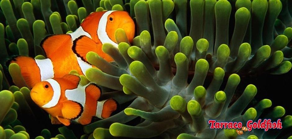 http://www.tarracogoldfish.com/wp-content/uploads/2011/04/Amphiprion-ocellaris-3.jpg
