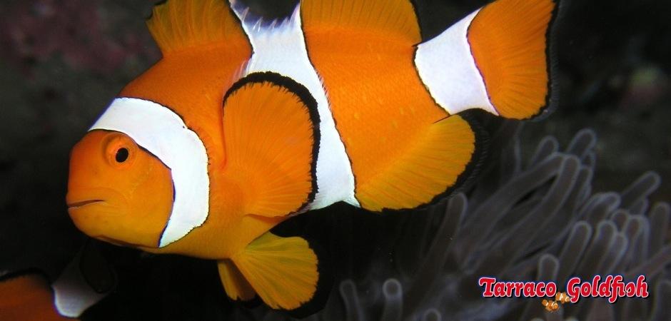 http://www.tarracogoldfish.com/wp-content/uploads/2011/04/Amphiprion_ocellaris_1.jpg