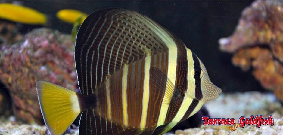 http://www.tarracogoldfish.com/wp-content/uploads/2011/04/Zebrasoma-Veliferum-04.jpg