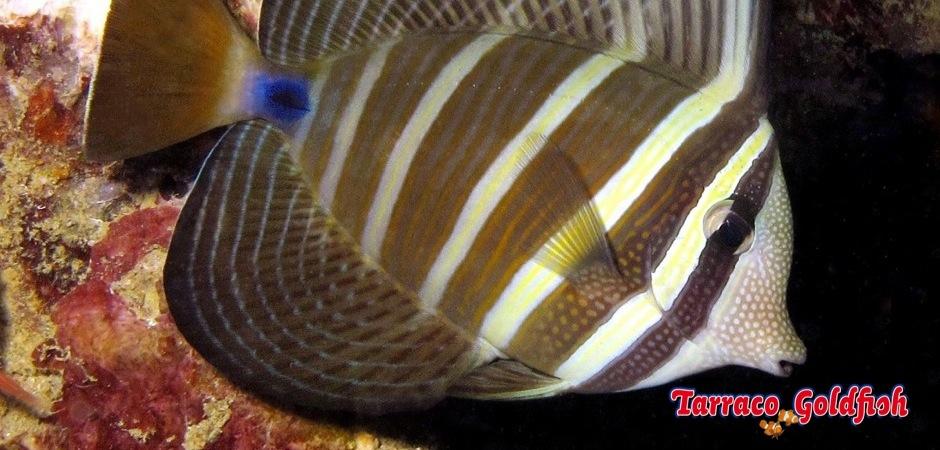 http://www.tarracogoldfish.com/wp-content/uploads/2011/04/Zebrasoma-Veliferum-1.jpg