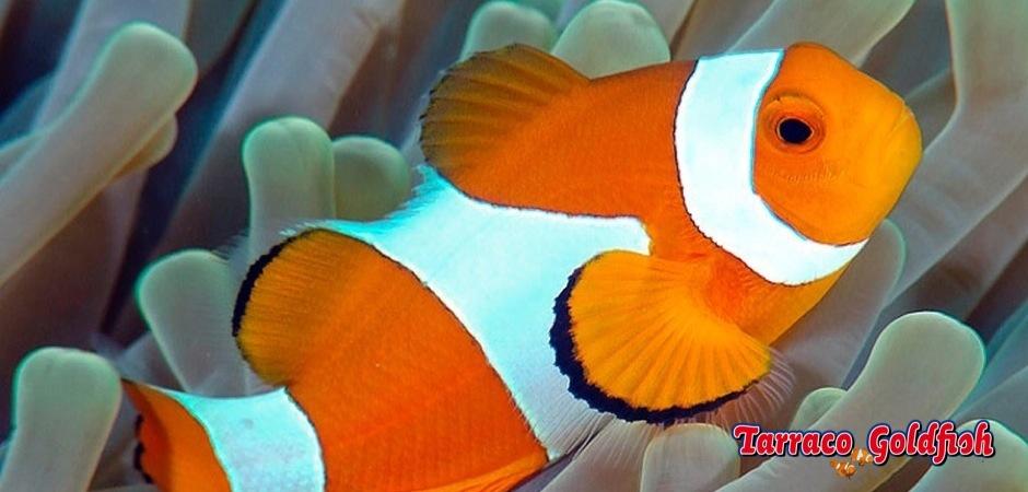 http://www.tarracogoldfish.com/wp-content/uploads/2011/04/amphiprion_ocellaris_02.jpg