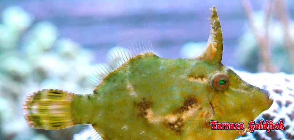 http://www.tarracogoldfish.com/wp-content/uploads/2011/08/Acreichthys-Tomentosus-9.jpg
