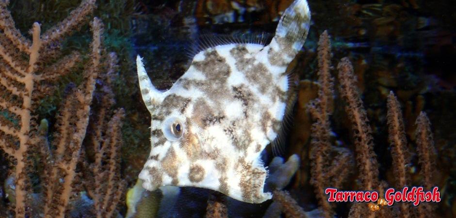 http://www.tarracogoldfish.com/wp-content/uploads/2011/08/Acreichthys_tomentosus.jpg