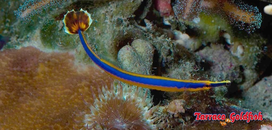 http://www.tarracogoldfish.com/wp-content/uploads/2011/11/Doryrhamphus-excisus-1.jpg