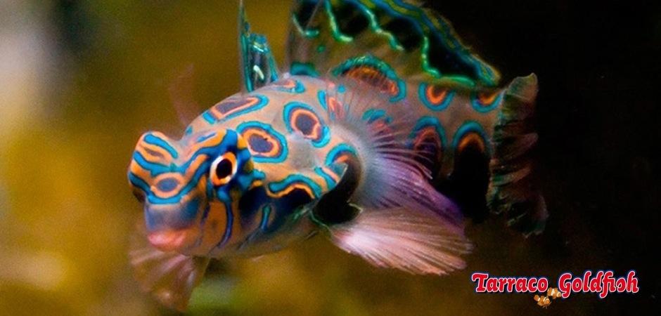 http://www.tarracogoldfish.com/wp-content/uploads/2011/11/Synchiropus-picturatus-0.jpg